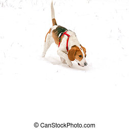 Happy hound dog are running outdoors in white snow