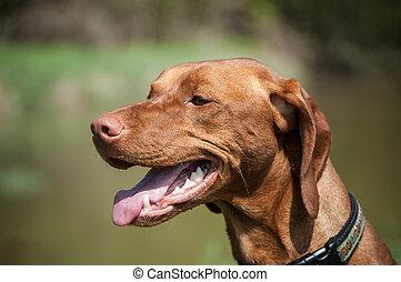 Happy Hungarian Vizsla Dog Portrait