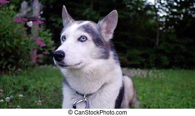 Happy husky dog at home - Cute Alaskan Husky dog is enjoying...