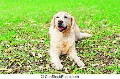 Happy joyful Golden Retriever dog is lying on the grass in a sunny summer day