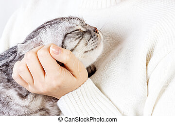 Happy kitten likes being stroked by woman's hand. The British Shorthair. Scottish kitten