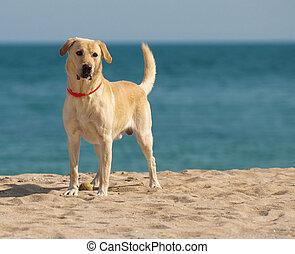 Labrador Retriever - Happy Labrador Retriever playing at the...