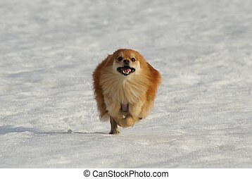 Happy little dog running on snow
