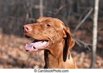 Happy Looking Vizsla Dog in the Woods in Autumn