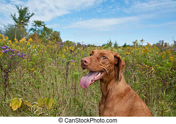 Happy Looking Vizsla Dog with Wild Flowers