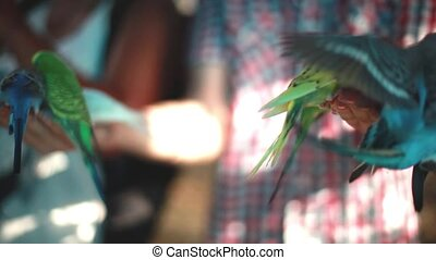 Happy man feeding parrots. Funny attraction for tourists. -...