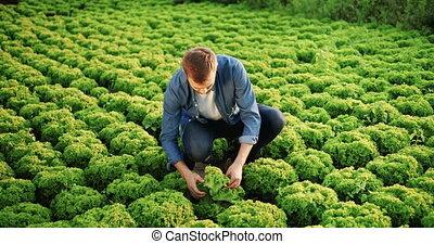 Happy Man Harvesting Salad - Happy handsome male farmer in...