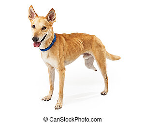 A happy Mixed breed medium size three legged dog standing at an angle looking off to the side of the camera