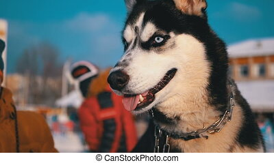 Happy Muzzle Dog Husky close up in Winter. Slow Motion in...