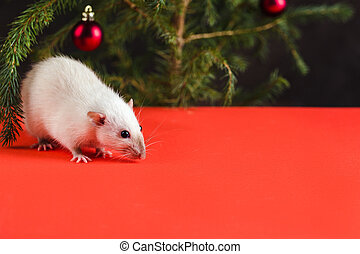 Happy New Year 2020. Christmas composition with a real rat, symbol of the year. A rat on red table near a Christmas tree with toys
