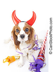 Happy new year. Celebrate with Cavalier king charles spaniel dog photo. Beautiful cute cavalier party puppy dog on isolated white studio background. Trained pet photos for every concept.