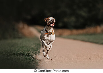 happy ointer dog running on a field in summer