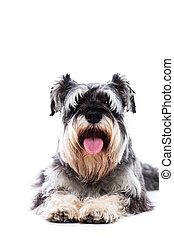 Happy panting schnauzer lying on his tummy facing the camera...