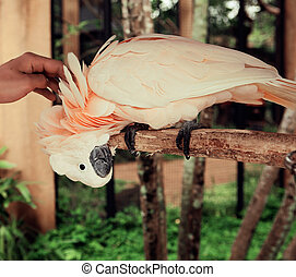 Happy pink cockatoo parrot and man hand