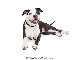 Happy Pit Bull Dog Laying - A friendly and obedient black...