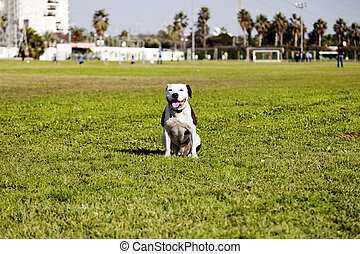 Happy Pitbull at the Park