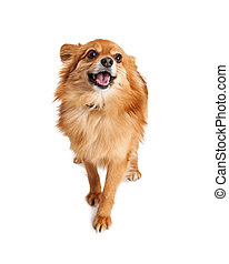Happy Pomeranian Crossbreed Dog