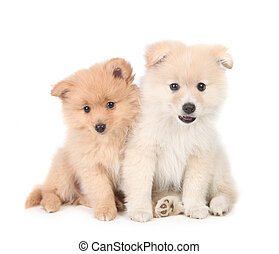 Happy Pomeranian Puppies Cuddling Together on White Background