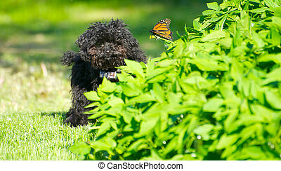 Happy poodle puppy with butterfly.