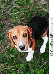 Happy puppy beagle dog having fun in green grass