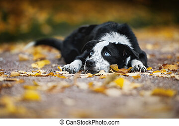 happy puppy border collie lying in autumn