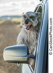 Happy Schnauzer hanging out of car window.
