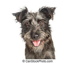 Happy Scruffy Terrier Dog Closeup
