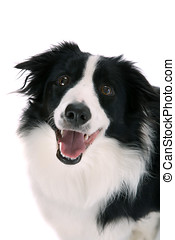 Happy sheepdog - Beautiful sheepdog looking happy upwards on...