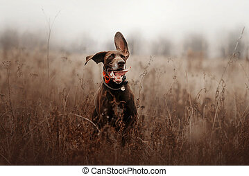 happy shorthaired pointer dog running outdoors in a tracking collar