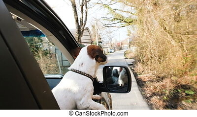Happy small dog jack russell terrier rides in the car sticking his head out the window, a man holding a dog in his hands, slow motion