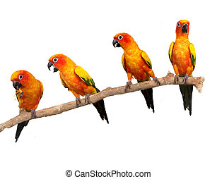 Multiple Sun Conure Parrots on a Perch on White Background