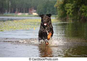 Happy swiss mountain dog crossbreed running in the water -...