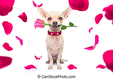 happy valentines dog - chihuahua dog in love for happy...