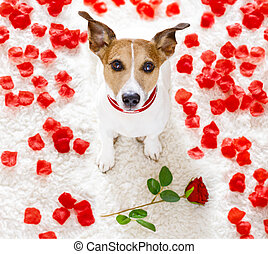 happy valentines dog - jack russel dog in love for happy...