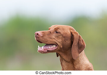 Happy Vizsla Dog in a Green Field