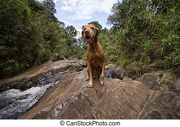 happy vizsla dog outdoors