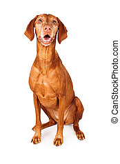 Happy Vizsla Dog Sitting