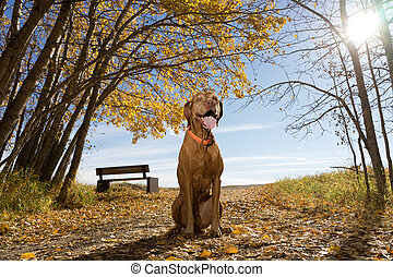 happy vizsla dog sitting in the park