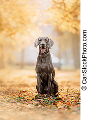 happy weimaraner dog sitting outdoors in autumn