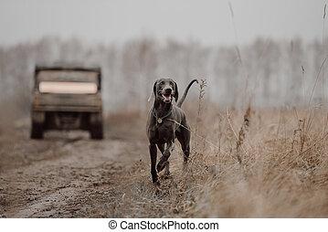 happy weimaraner dog walking outdoors in autumn