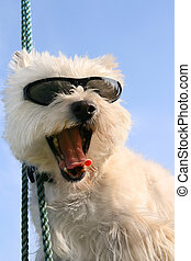 Happy Westie dog with sunglasses