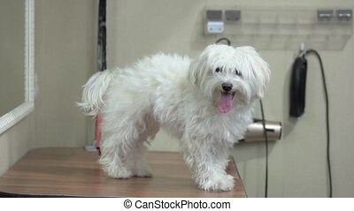 Happy white maltese. Cute dog, tongue sticking out. Friendly...