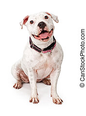White Pit Bull dog wearing a pink and black collar with a big smile on her face