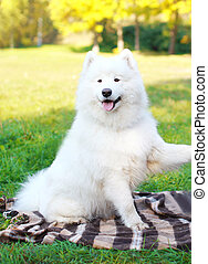 Happy white Samoyed dog outdoors in sunny day