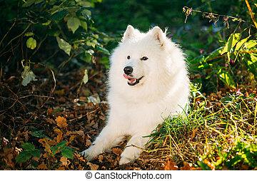 Happy White Samoyed Dog Sitting in tree in Park