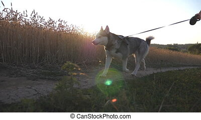 Happy woman in sunglasses running with her pet along road near golden meadow. Cute siberian husky dog pulling the leash during jogging along road near wheat field at sunset. Close up Slow motion
