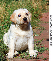 happy yellow labrador puppy portrait in the garden
