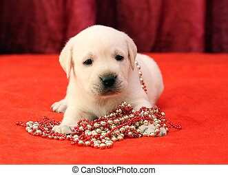happy yellow labrador puppy portrait on red with beads -...