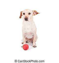Happy young dog with red ball