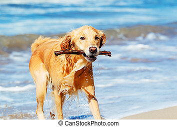 Happy Young Golden Retriever. Addorable Dog Running on the...